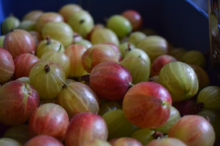 Pick your own gooseberries - a fun way to spend a summer afternoon