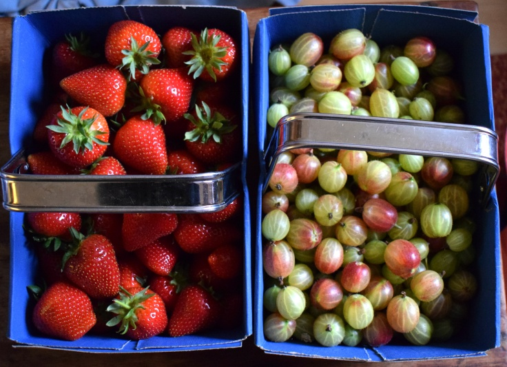 Picking your own fruit - strawberries and gooseberries